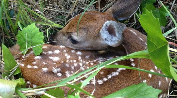 Little Fawn Napping