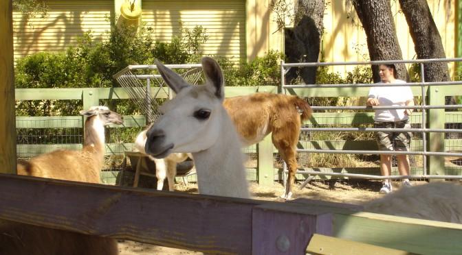 Well Groomed Llama at the Zoo