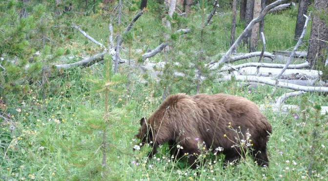 This ain't Yogi Bear — Yellowstone Grizzly Bear