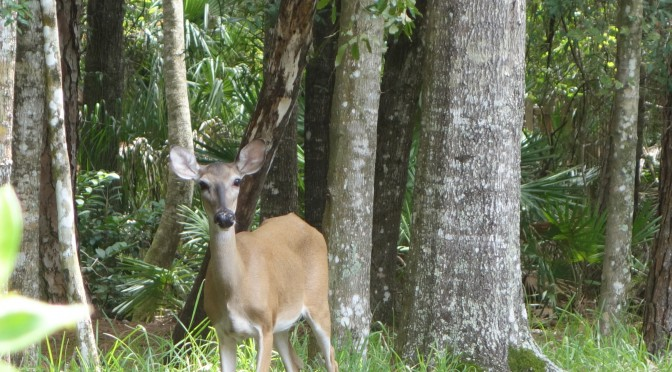 Backyard Deer.  Are You Looking at me?